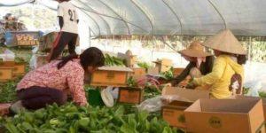 कोरियामा कृषि क्षेत्रमा कामदार पठाउन समस्या