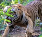 बाँके र बर्दियामा बढ्दै बाघ आक्रमण, त्रासमा स्थानीयवासी