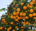 कास्कीमा सुन्तला घट्यो, किसान चिन्तित