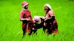 किसानको मागअनुसार गहुँको बीउ छैन