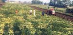 किसानमाथि कोरोना आतंक : केरा नबिकेर नदीमा बगाइयो, खाल्टो खनेर कुखुरा पुरियो